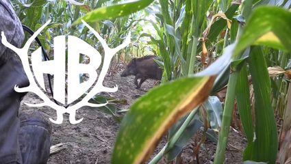 Sauenpirsch im Mais