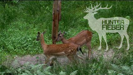 Damwildjagdwochenende bei den HunterBrothers #Traumwaldbock liegt